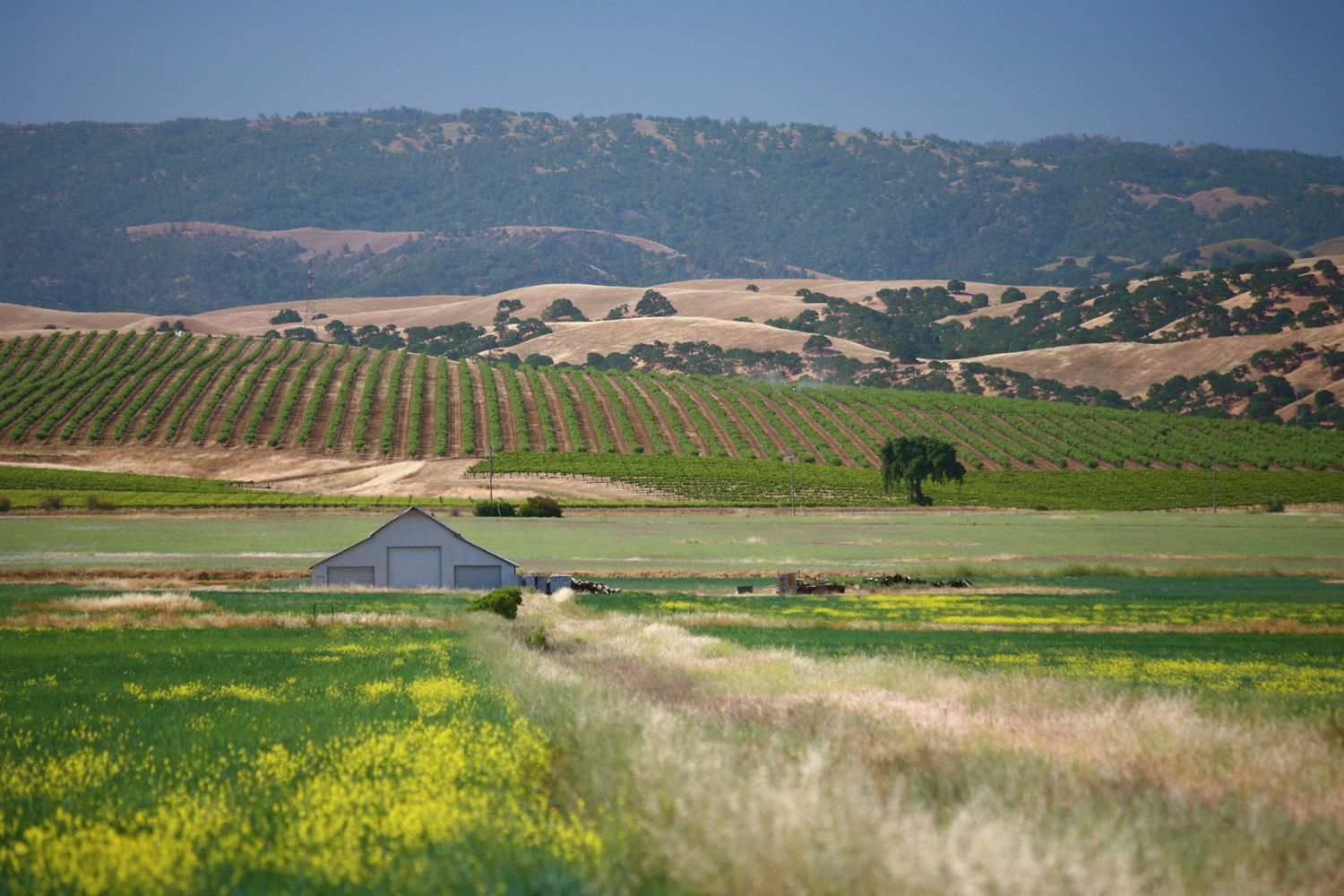 Livermore Valley grapevines